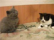 Британские ориентальные вислоухие котята
