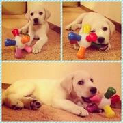 Продается щенок лабрадора палевый мальчик 2 месяца