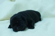 Продаются породистые щенки лабрадора ретривера с родословной