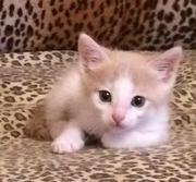 Персиковый котёнок в добрые руки